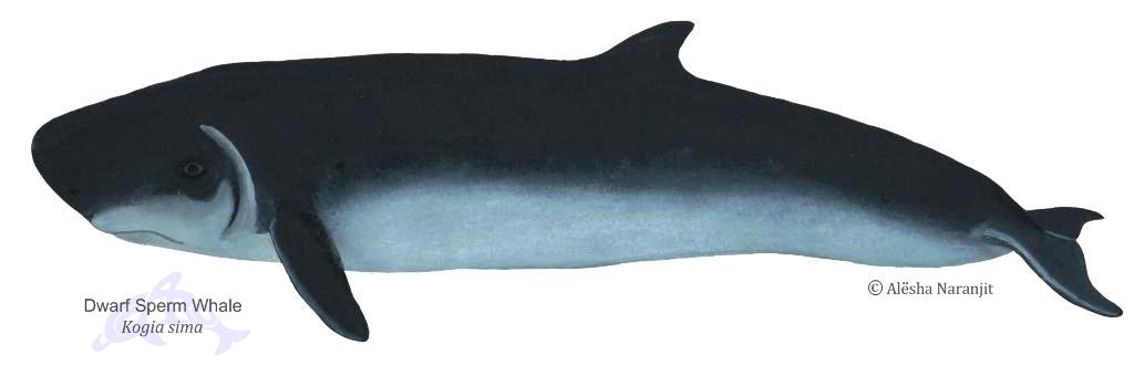 dwarf sperm whale kogia simaDwarf Sperm Whale