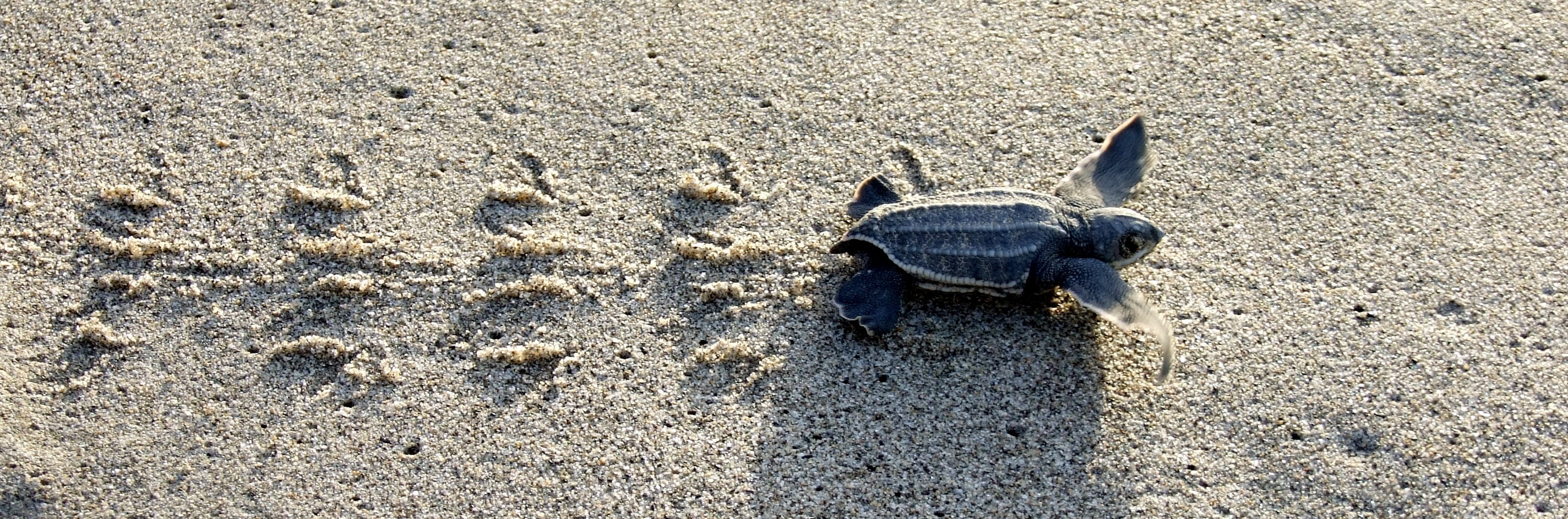 Leatherback TurtleHatchling Making its Way to the Sea